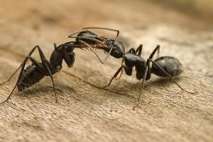 Camponotus. Leg. en det. J. Noordijk